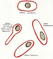 Disposizioni diverse di una spora all'interno di una cellula batterica.