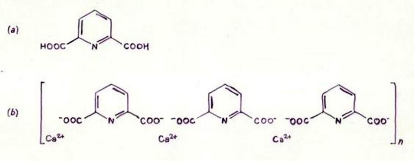 Acido dipicolinico (a), suo complesso con il calcio (b).