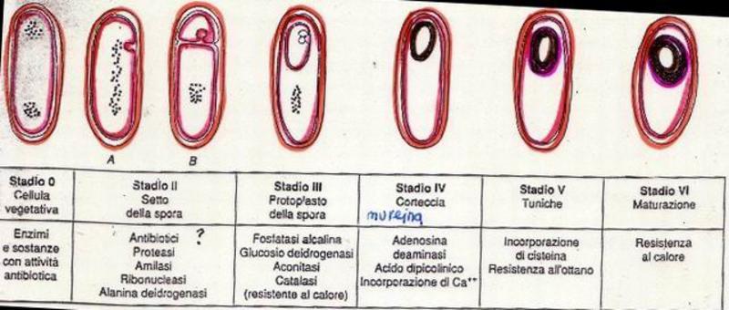 """Schema del processo di sporificazione batterica. Immagine modificata da """"Microbiologia"""" di Polisinelli et al."""