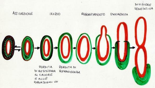 Schema della germinazione di un'endospora batterica.