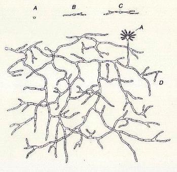 """Ciclo vegetativo di un fungo: spora (A), dà origine al micelio (B, C, D), che riproduce poi la spora (A). Immagine modificata da """"Microbiologia farmaceutica"""" di Carlone et al."""