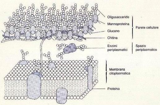 Schema dell'involucro cellulare del lievito.