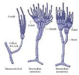 "Schema di corpi fruttiferi. Immagine modificata da ""Microbiologia farmaceutica"" di Carlone et al."