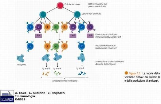 """Immagine modificata da """"Immunologia"""" di Coico et al., Casa Editrice Edises."""