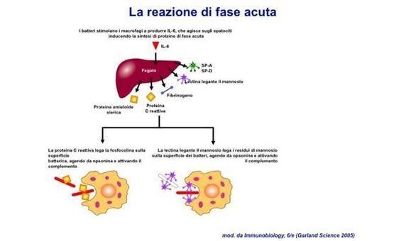 """Immagine modificata da """"Immunobiology"""" di Janeway et al., Casa Editrice Garland."""