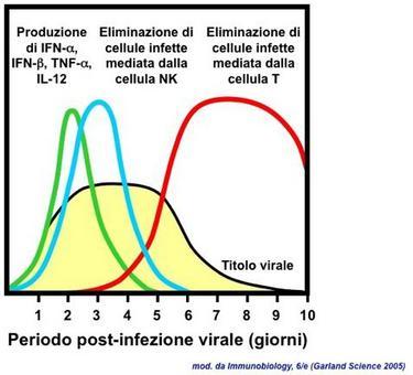 """Gli interferoni di tipo I vengono prodotti nei primi giorni post-infezione. Immagine modificata da """"Immunobiology"""" di Janeway et al."""