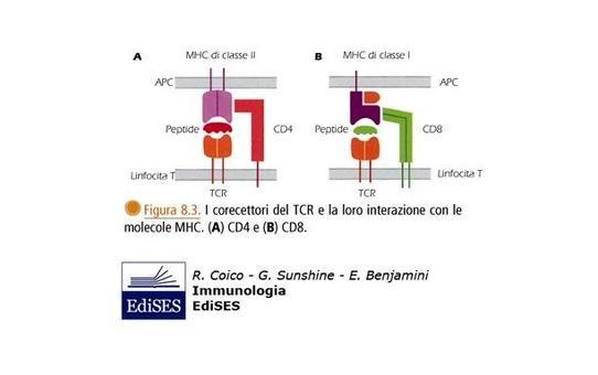 """La presentazione dell'antigene ai linfociti T richiede interazioni complesse fra cellula T e cellula che presenta l'antigene (APC). Immagine modificata da """"Immunologia"""" di Coico et al., Casa Editrice Edises."""