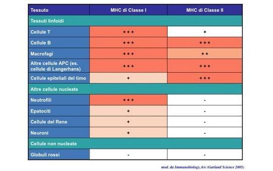 """Espressione delle molecole MHC. Immagine modificata da """"Immunobiology"""" di Janeway et al., Casa Editrice Garland."""