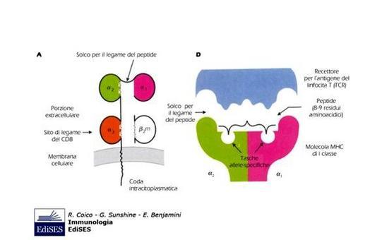 """Struttura delle molecole MHC di classe I (MHC I). Immagine modificata da """"Immunologia"""" di Coico et al., Casa Editrice Edises."""