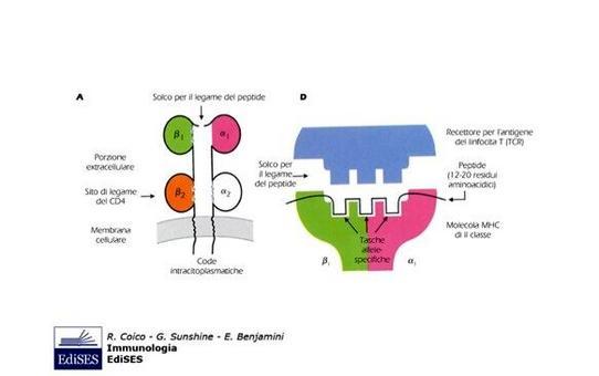 """Struttura delle molecole MHC di classe II (MHC II).Immagine modificata da """"Immunologia"""" di Coico et al., Casa Editrice Edises."""
