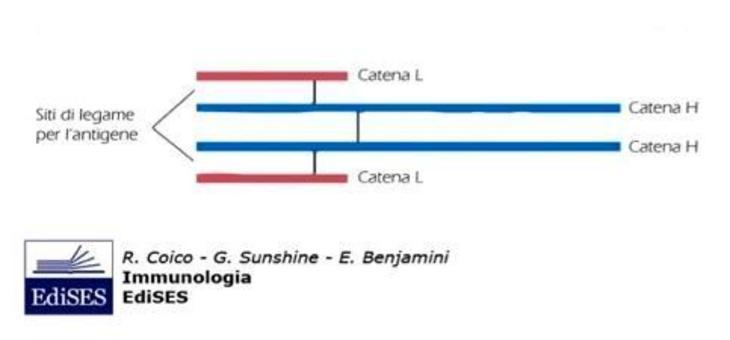 """Il recettore dei linfociti B. Immagine modificata da """"Immunologia"""" di Coico et al., Casa Editrice Edises."""