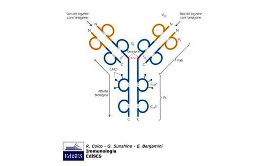"""Struttura delle immunoglobuline. Immagine modificata da """"Immunologia"""" di Coico et al., Casa Editrice Edises."""