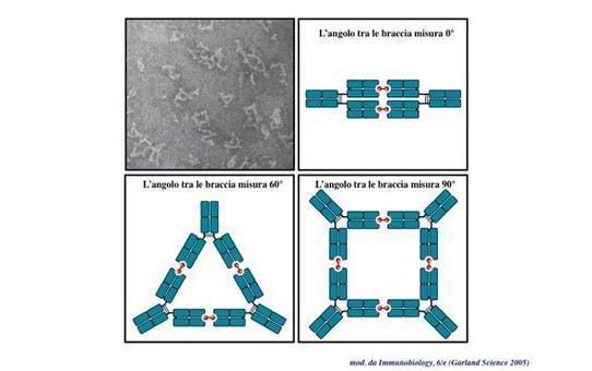 """Le braccia delle immunoglobuline possono flettersi rispetto alla porzione Fc creando angoli di diversa misura. Immagine modificata da """"Immunobiology"""" di Janeway et al., Casa Editrice Garland."""