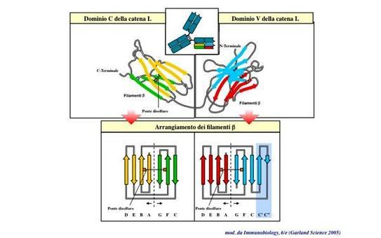 """Struttura dei domini simil-immunoglobulinici (Ig-like). Immagine modificata da """"Immunobiology"""" di Janeway et al., Casa Editrice Garland."""