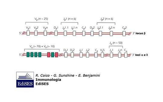 """Struttura e localizzazione dei loci genici dei TCR.Immagine modificata da """"Immunologia"""" di Coico et al., Casa Editrice Edises."""