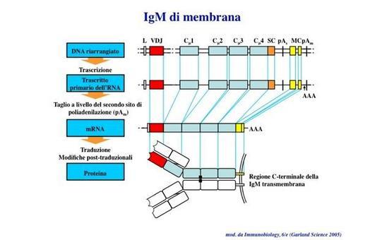 """La secrezione o il trasporto in membrana delle Ig sono determinati da splicing alternativo. Immagine modificata da """"Immunobiology"""" di Janeway et al., Casa Editrice Garland."""