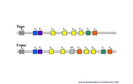 """Struttura e localizzazione dei loci genici delle Immunoglobuline. Immagine modificata da """"Immunobiology"""" di Janeway et al., Casa Editrice Garland."""