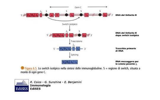 """Meccanismo molecolare dello switch isotipico. Immagine modificata da """"Immunologia"""" di Coico et al., Casa Editrice Edises."""