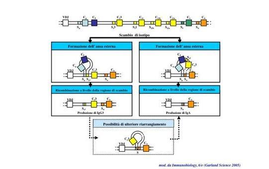 """Riarrangiamenti somatici nello switch isotipico. Immagine modificata da """"Immunobiology"""" di Janeway et al., Casa Editrice Garland."""