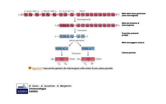"""Riarrangiamenti somatici dei geni che codificano per le catene pesanti delle immunoglobuline. Immagine modificata da """"Immunologia"""" di Coico et al., Casa Editrice Edises."""
