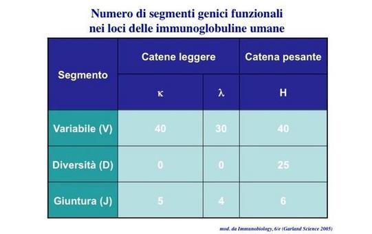 """I loci delle Immunoglobuline umane codificano per segmenti genici funzionali che costituiscono la porzione variabile. Immagine modificata da """"Immunobiology"""" di Janeway et al., Casa Editrice Garland."""