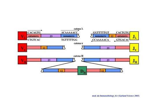 """Struttura e localizzazione delle sequenze segnale di ricombinazione. Immagine modificata da """"Immunobiology"""" di Janeway et al., Casa Editrice Garland."""