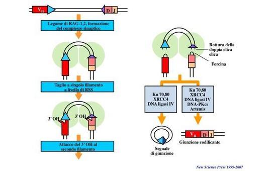 """Meccanismi molecolari della ricombinazione VDJ. Immagine modificata da """"Immunity"""" di DeFranco et al., Casa Editrice Oxford University Press."""