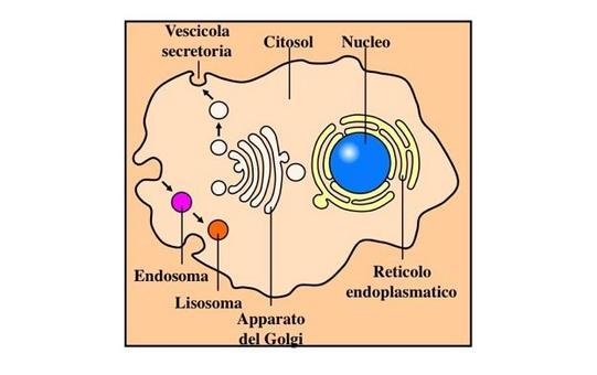 """Le proteine seguono due vie degradative: quella citosolica, dipendente dal proteasoma e quella endocitica, dipendente dal lisosoma. Immagine modificata da """"Immunobiology"""" di Janeway et al., Casa Editrice Garland."""