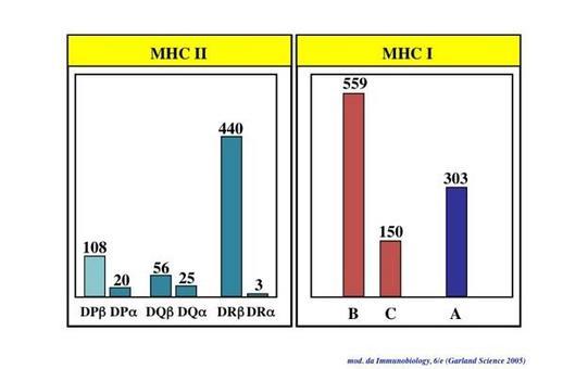 """Le molecole MHC sono codificate da diversi geni (poligenia). Tali geni presentano nella popolazione numerosi alleli, tutti con una frequenza elevata (polimorfismo). Immagine modificata da """"Immunobiology"""" di Janeway et al., Casa Editrice Garland."""