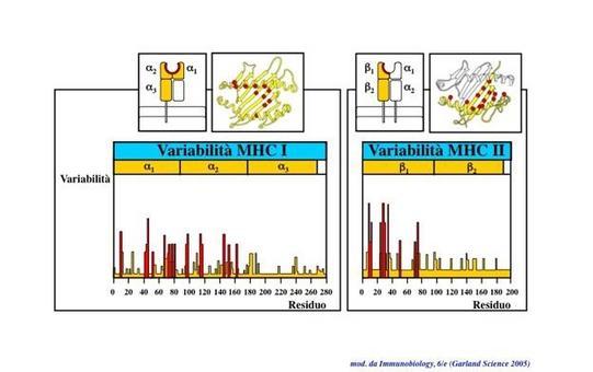 """Distribuzione delle varianti polimorfiche delle molecole MHCI e MHC II. Immagine modificata da """"Immunobiology"""" di Janeway et al., Casa Editrice Garland."""