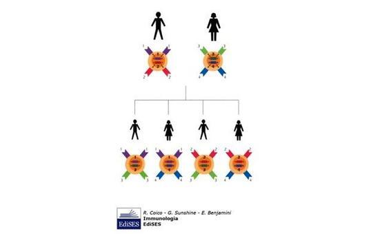 """Possibili combinazioni degli alleli MHC. Immagine modificata da """"Immunologia"""" di Coico et al., Casa Editrice Edises."""