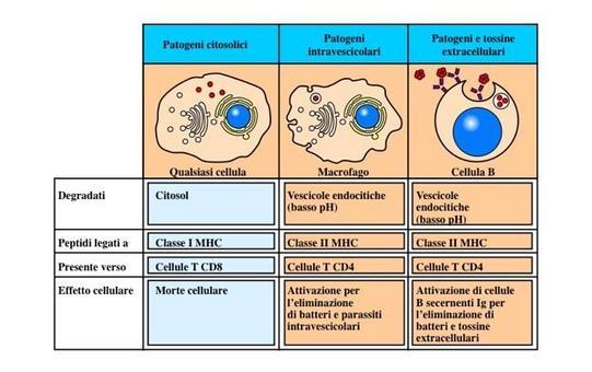 """Le cellule che presentano l'antigene (APC) professionali e le loro caratteristiche. Immagine modificata da """"Immunobiology"""" di Janeway et al., Casa Editrice Garland."""