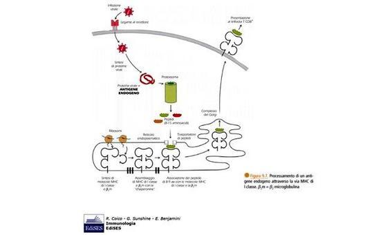 """Le proteine citosoliche vengono degradate in piccoli peptidi dal proteasoma: tali pepetidi vengono caricati sulle molecole MHC di classe I. Immagine modificata da """"Immunologia"""" di Coico et al., Casa Editrice Edises."""