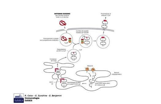 """I peptidi derivanti da proteine endocitiche vengono caricati su molecole MHC II. Immagine modificata da """"Immunologia"""" di Coico et al., Casa Editrice Edises."""