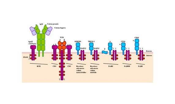 """Oltre ai recettori per l'antigene, le cellule del sistema immunitario possono esprimere recettori con funzioni diverse. Esempi di tali recettori sono riportati in figura. Immagine modificata da """"Immunity"""" di De Franco et al., Casa Editrice Oxford University Press."""