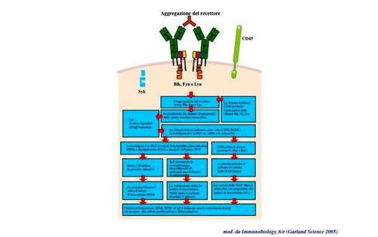 """I principali fattori di trascrizione attivati dalle vie di trasduzione del segnale del BCR.Immagine modificata da """"Immunobiology"""" di Janeway et al., Casa Editrice Garland."""