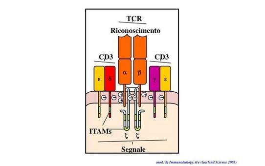 """Struttura del recettore per l'antigene dei linfociti T (TCR, T-Cell Receptor). Immagine modificata da """"Immunobiology"""" di Janeway et al., Casa Editrice Garland."""