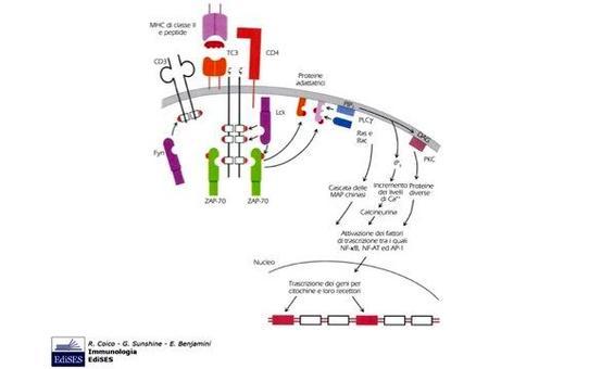 """SRC fosforila le sequenze ITAM ed attiva la chinasi ZAP70, che e' capace di legare le ITAM poiche' possiede due domini SH2. Immagine modificata da """"Immunologia"""" di Coico et al., Casa Editrice Edises."""