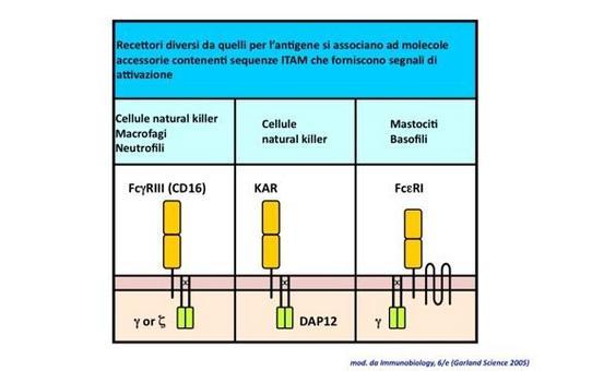 """Struttura di differenti recettori del sistema immunitario. Immagine modificata da """"Immunobiology"""" di Janeway et al., Casa Editrice Garland."""