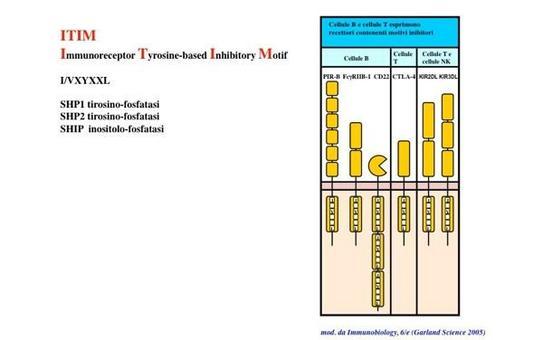 """I recettori inibitori del sistema immunitario contengono sequenze ITIM. Immagine modificata da """"Immunobiology"""" di Janeway et al., Casa Editrice Garland."""