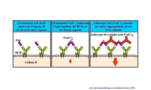 """L'attivazione dei recettori per l'antigene dei linfociti B richiede l'aggregazione di molteplici  recettori singoli. Immagine modificata da """"Immunobiology"""" di Janeway et al., Casa Editrice Garland."""