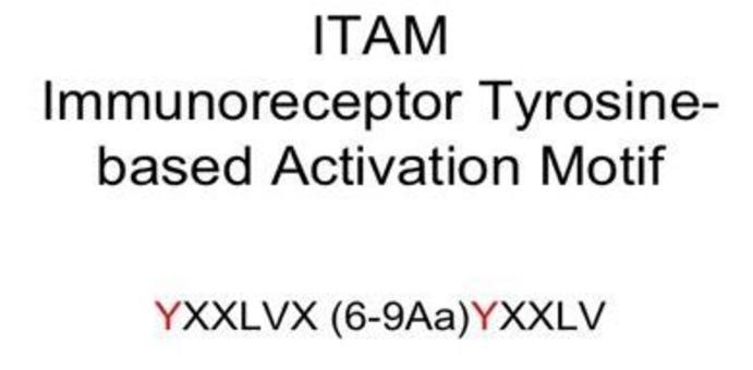 Le catene Iga/b associate al BCR contengono i domini ITAM, indispensabili per iniziare la trasduzione del segnale.
