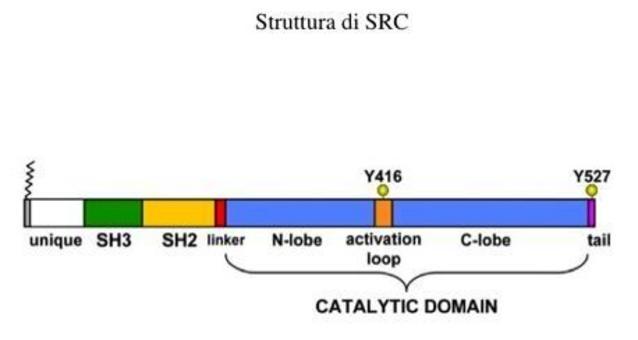 Struttura delle chinasi della famiglia SRC.