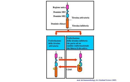 """La chinasi SRC e' finemente regolata. La sua attivazione richiede la fosforilazione del residuo di tirosina dell'ansa di attivazione e la defosforilazione del residuo di tirosina della coda C-terminale. Immagine modificata da """"Immunobiology"""" di Janeway et al., Casa Editrice Garland."""