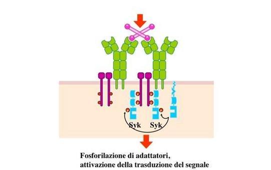 """SRC fosforila le sequenze ITAM ed attiva la chinasi SYK, che e' capace di legare le ITAM poiche' possiede due domini SH2. Immagine modificata da """"Immunity"""" di De Franco et al., Casa Editrice Oxford University Press."""