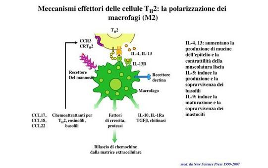 "Caratteristiche del macrofago M2. Immagine modificata da ""Immunity"" di De Franco et al., Casa Editrice Oxford University Press."