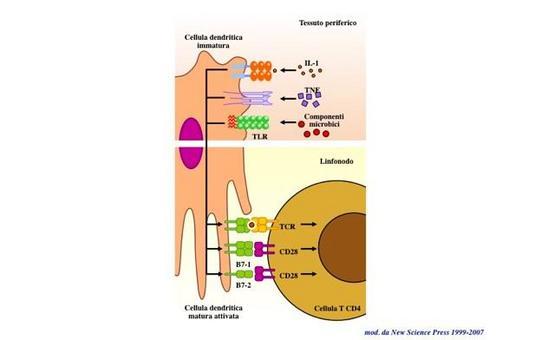 """Caratteristiche della cellula dendritica immatura e matura. Immagine modificata da """"Immunity"""" di De Franco et al., Casa Editrice Oxford University Press."""