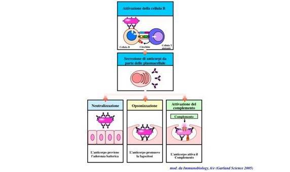 """Attivazione dei linfociti B e funzioni degli anticorpi. Immagine modificata da """"Immunobiology"""" di Janeway et al., Casa Editrice Garland."""