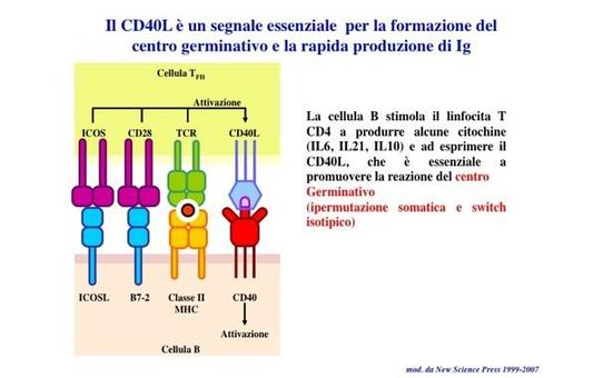"Le molecole co-stimolatorie (ICOSL e B7) inducono il linfocita T ad esprimere CD40L, che e' essenziale per la reazione del centro germinativo. Immagine modificata da ""Immunity"" di De Franco et al., Casa Editrice Oxford University Press."