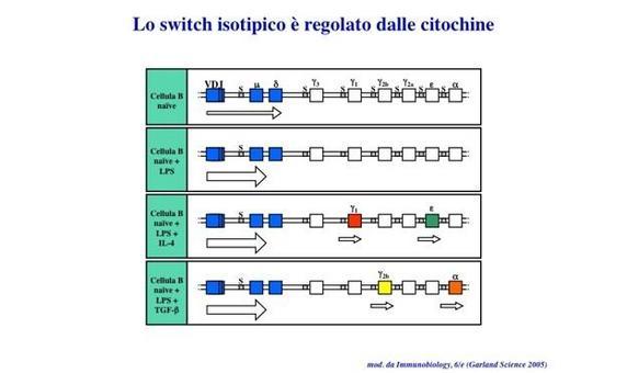 """Lo scambio di classe (switch isotipico) e' innescato dall'interazione CD40/CD40L ed e' regolato dalle citochine. Immagine modificata da """"Immunobiology"""" di Janeway et al., Casa Editrice Garland."""